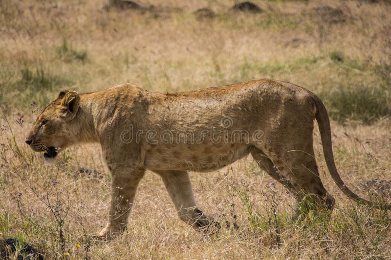 Ngorongoro Conservtion Area, Tanzania - Lion. The Ngorongoro Conservation Area (NCA) is a conservation area and a UNESCO World Heritage Site located 180 km (110 royalty free stock photo