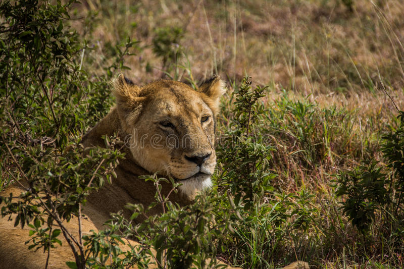Ngorongoro Conservtion Area, Tanzania - Lion. The Ngorongoro Conservation Area (NCA) is a conservation area and a UNESCO World Heritage Site located 180 km (110 stock photos