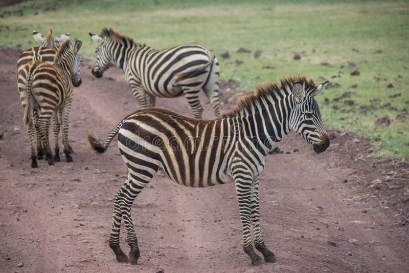 Ngorongoro Conservtion Area, Tanzania - Zebras. The Ngorongoro Conservation Area (NCA) is a conservation area and a UNESCO World Heritage Site located 180 km ( royalty free stock photo