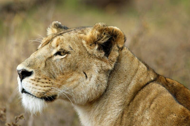 Ngorongoro Lion, Portrait of a Hunter royalty free stock photo