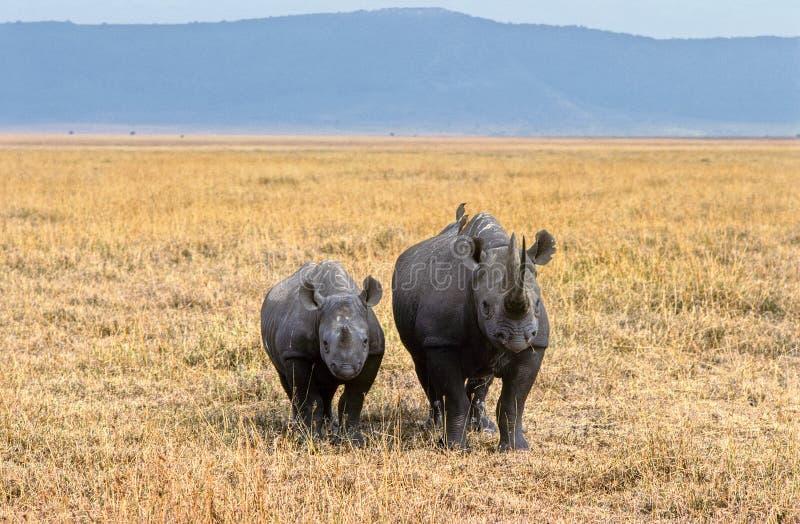 Ngorongoro rhinoceros royalty free stock photos