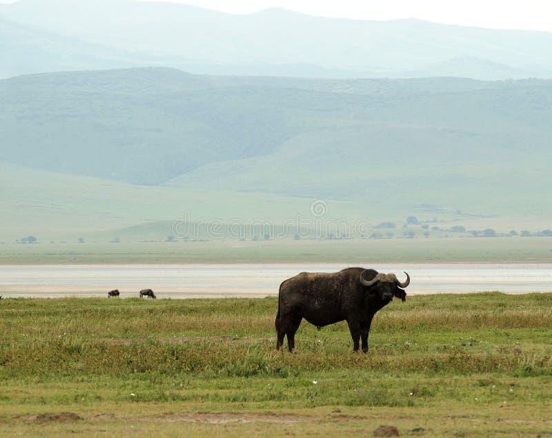 Ngorongoro Waterbuffalo στοκ εικόνα