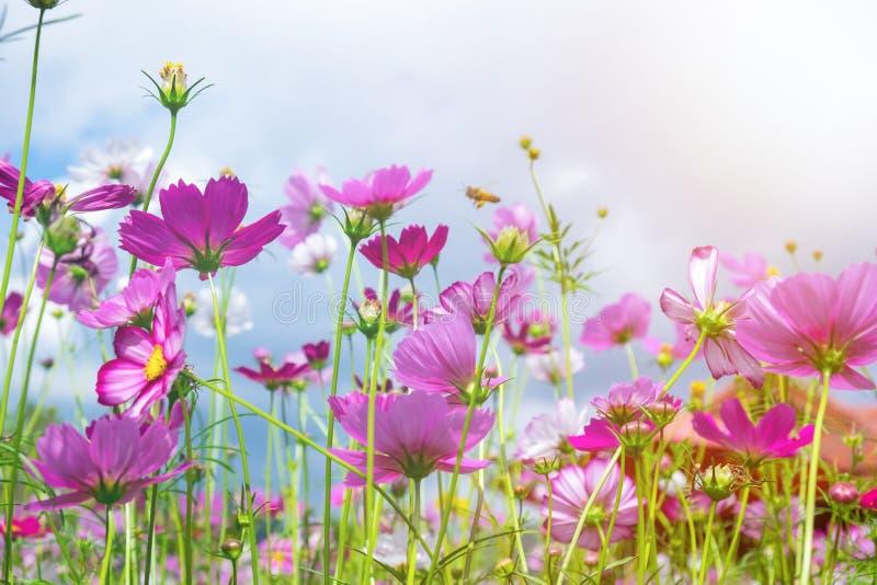 Ângulo e abelha da flor do cosmos baixo fotos de stock royalty free