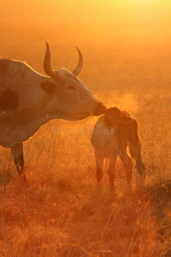 Download Nguni Breath Stock Photography - Image: 6123142