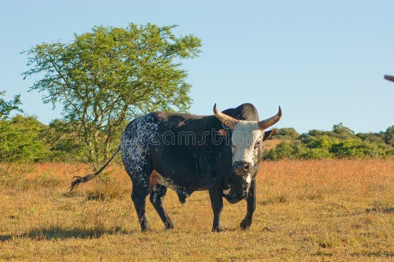 Nguni Bull stock photography