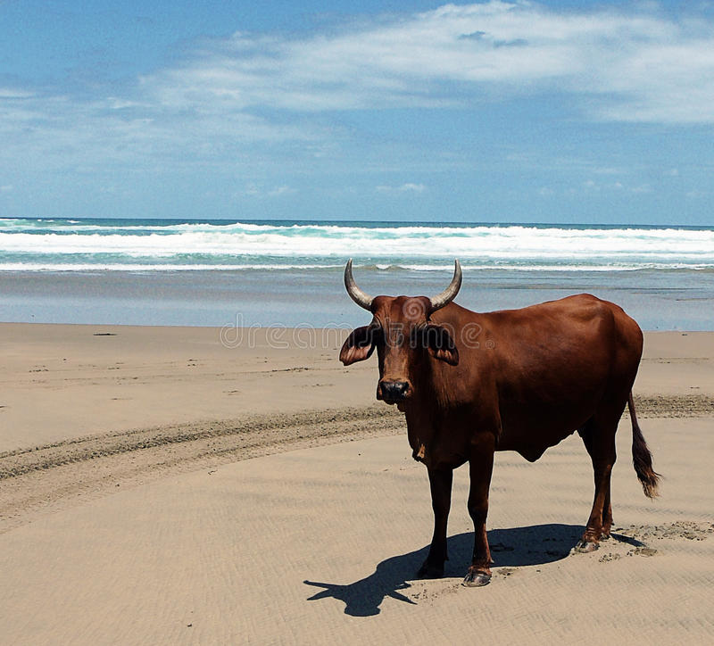 Nguni Cattle royalty free stock photos