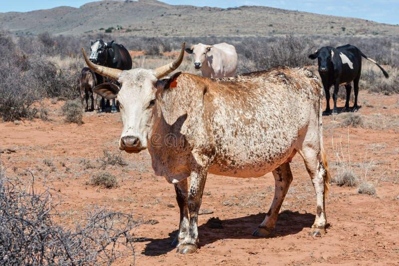 Nguni cattle royalty free stock image