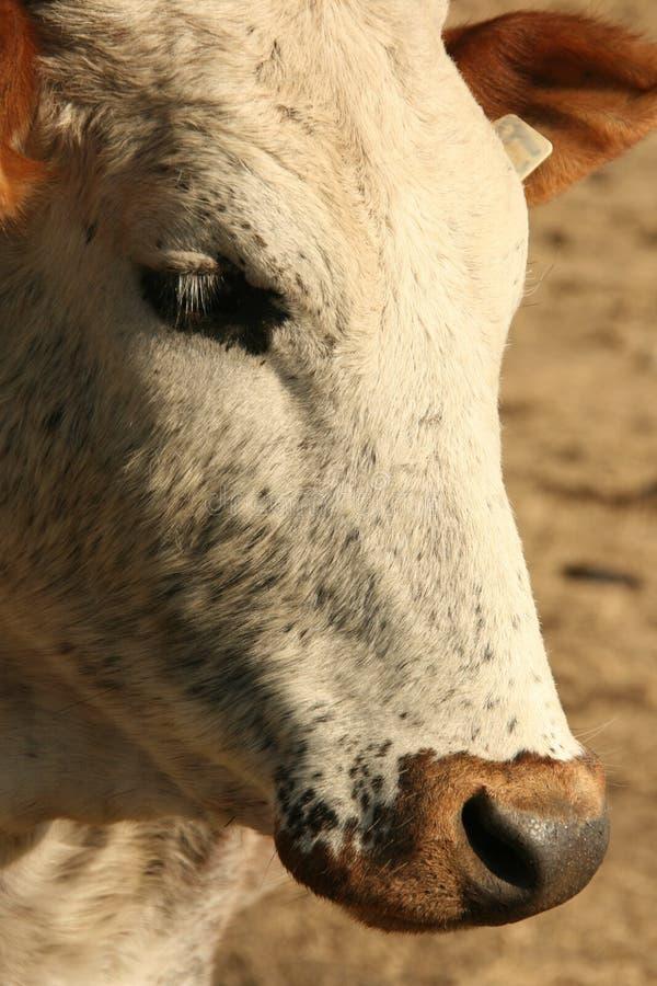 Nguni Cow Portrait Royalty Free Stock Photos