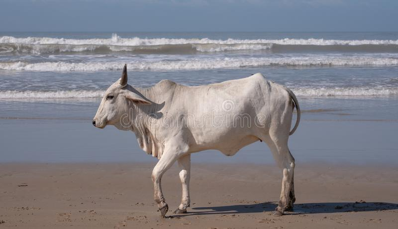 Nguni cow walks on the sand at Second Beach, Port St Johns on the wild coast in Transkei, South Africa. Nguni cow on the sand at Second Beach, Port St Johns on royalty free stock image