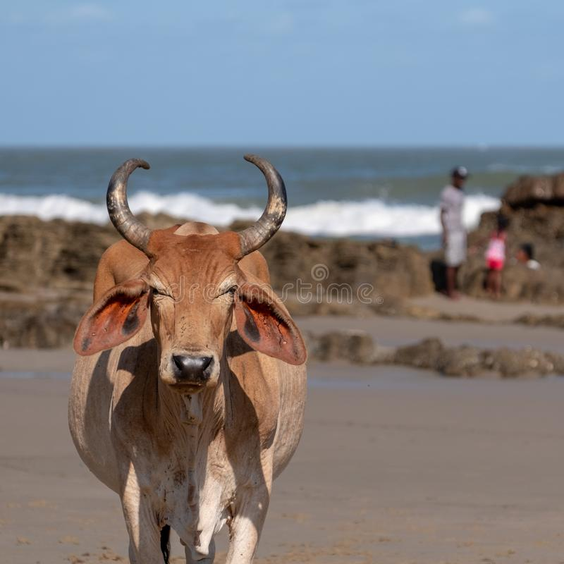 Nguni cow at Second Beach, at Port St Johns on the wild coast in Transkei, South Africa. People clamber on the rocks in the backgr. Local Nguni cow at Second royalty free stock photos