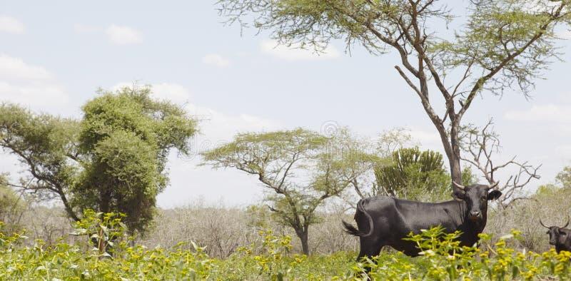 Nguni cow walks along edge of African field royalty free stock photos