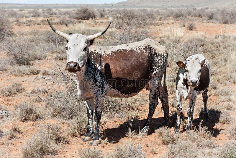Nguni cows royalty free stock images