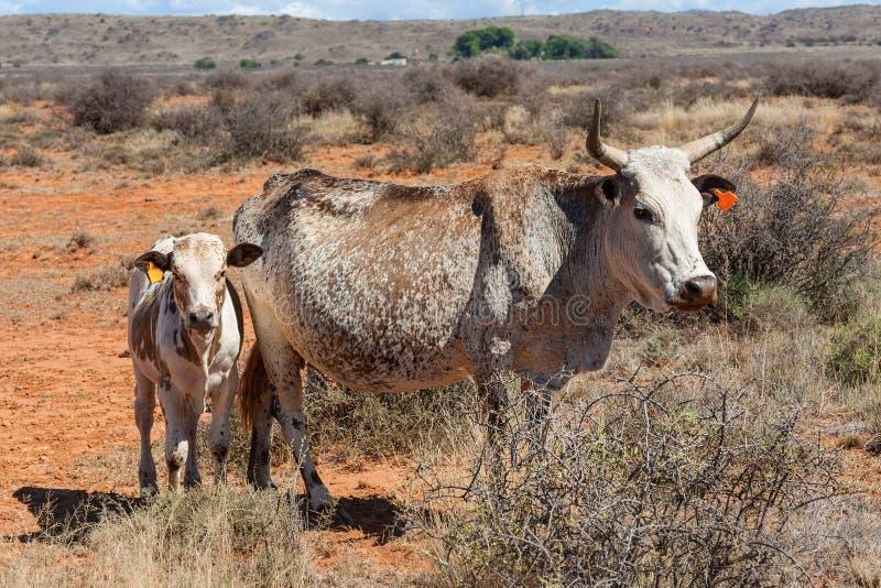 Nguni cows stock photos