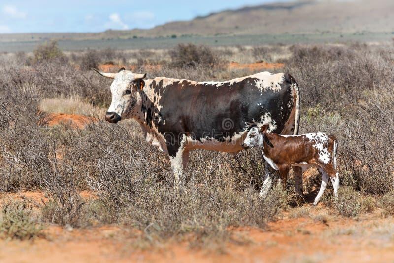 Nguni cows royalty free stock image