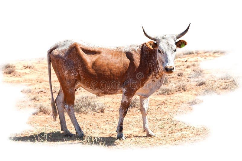 Nguni krowa fotografia stock