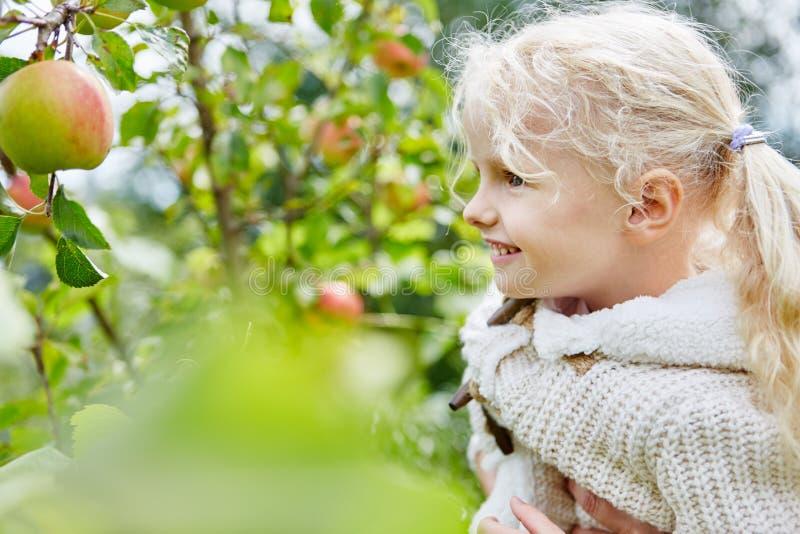 Niña rubia durante tiempo de cosecha de la manzana fotos de archivo