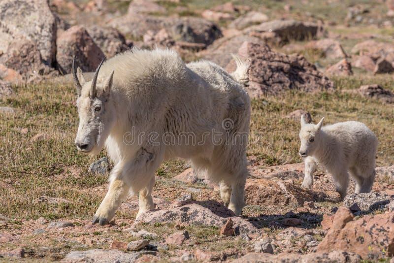 Niñera y cabrito de la cabra de montaña foto de archivo libre de regalías