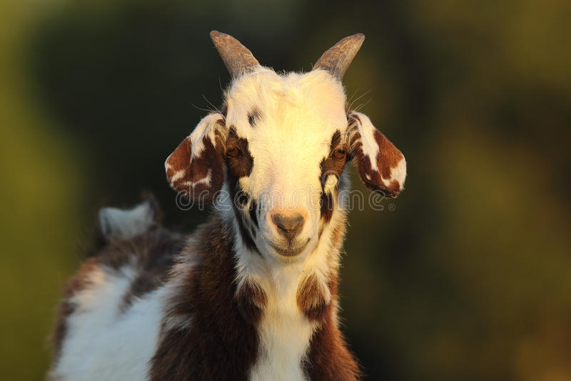 Niño abigarrado lindo de la cabra foto de archivo