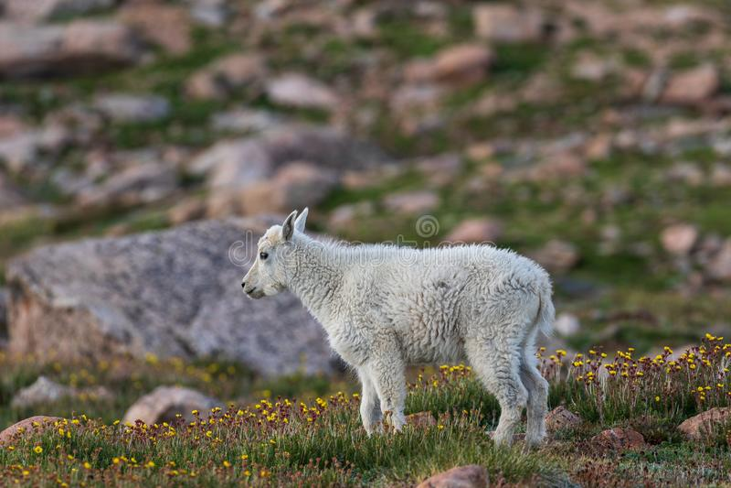 Niño de la cabra de montaña imágenes de archivo libres de regalías