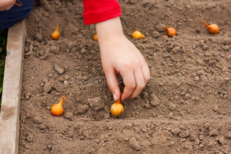 Niño de la mano que planta la cebolla en jardín fotografía de archivo libre de regalías