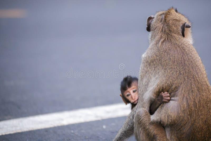 Niño de un mono y de su madre Mono de la madre en el camino fotos de archivo