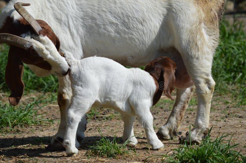 Niño del oficio de enfermera de la cabra del Boer foto de archivo