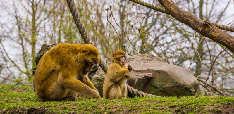 Niño joven adorable con su madre, especie animal en peligro del macaque de barbary de África imagenes de archivo
