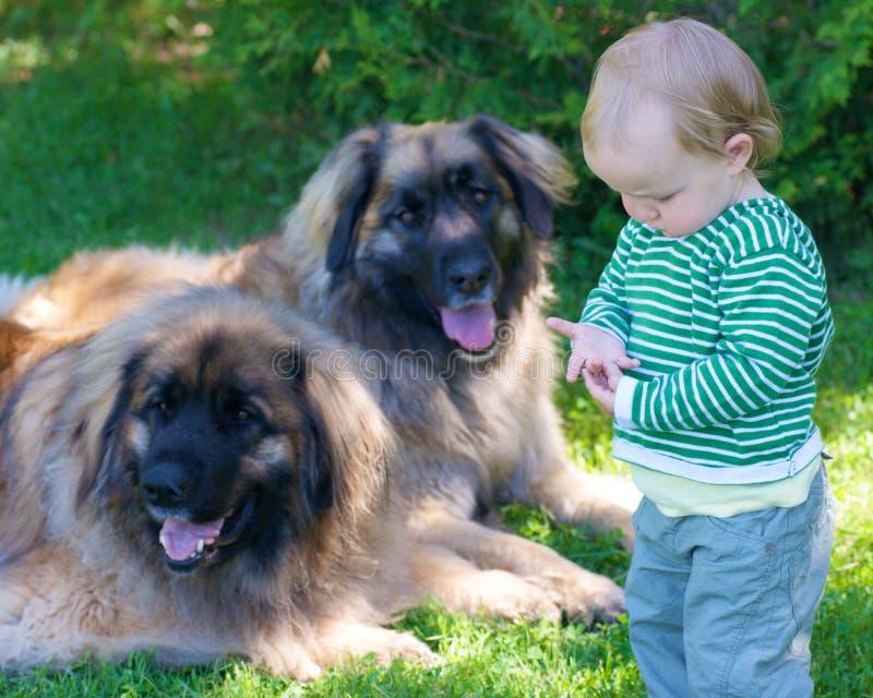Niño joven con dos perros grandes fotos de archivo libres de regalías