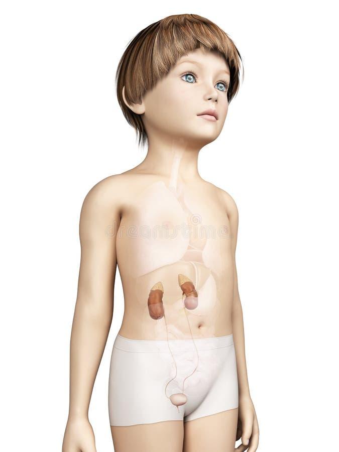 Niño joven - sistema urinario stock de ilustración