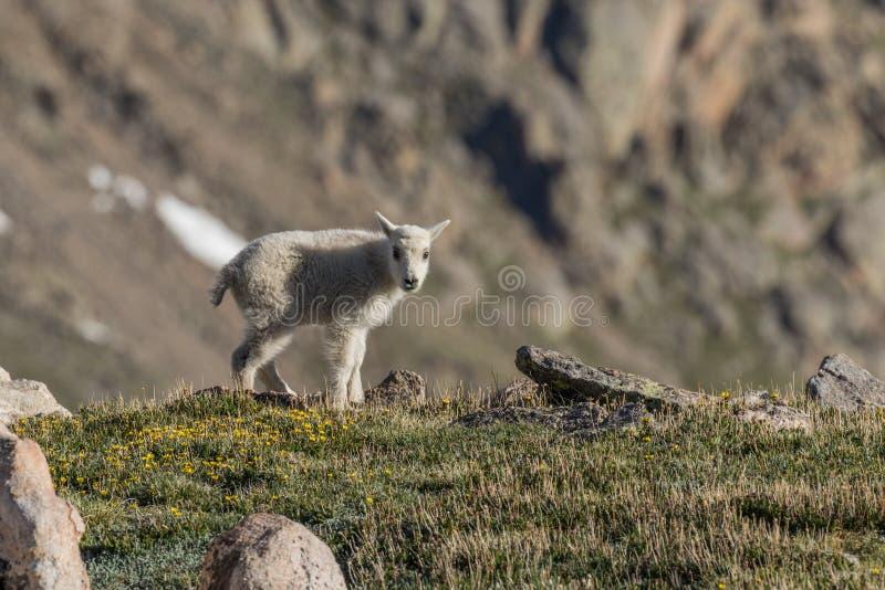 Niño lindo de la cabra de montaña en el alpino imagen de archivo