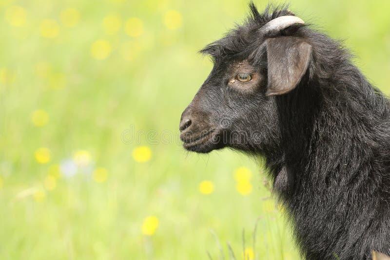 Niño negro de la cabra foto de archivo libre de regalías