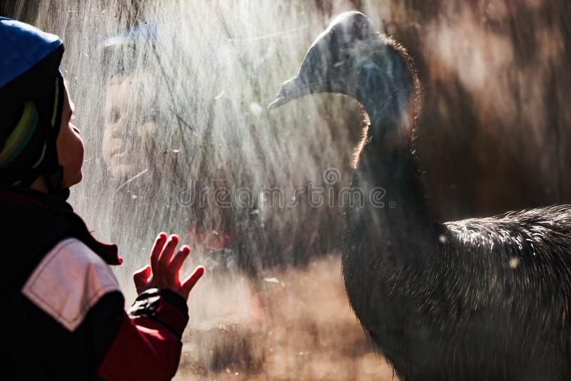 Niño pequeño adorable en parque zoológico cautivado por el casuario imagenes de archivo