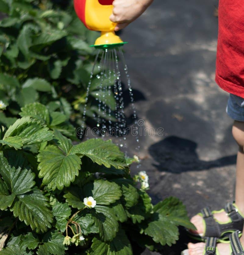 Niño que riega un arbusto de fresa de una regadera rojo-amarilla La foto muestra las manos de un niño, ninguna cara cabrito imagen de archivo libre de regalías