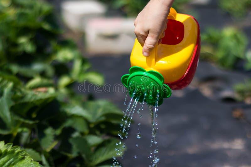 Niño que riega un arbusto de fresa de una regadera rojo-amarilla La foto muestra las manos de un niño, ninguna cara cabrito fotografía de archivo