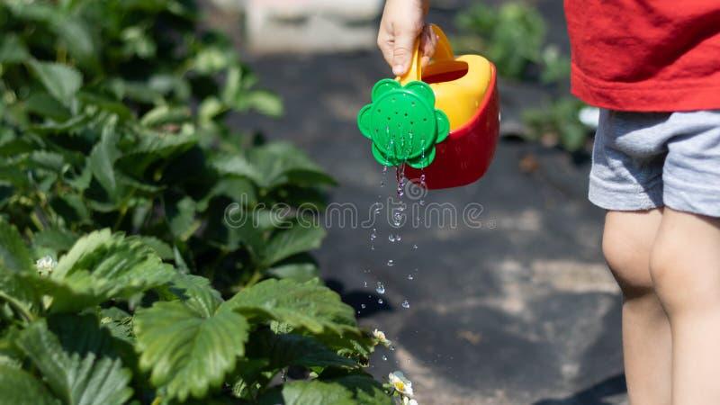 Niño que riega un arbusto de fresa de una regadera rojo-amarilla La foto muestra las manos de un niño, ninguna cara cabrito imagen de archivo