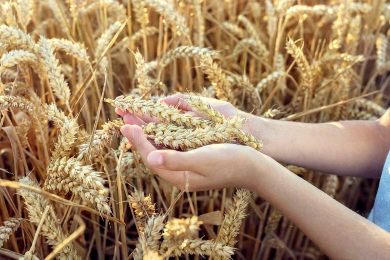 Niño que sostiene la cosecha en campo de trigo imagen de archivo