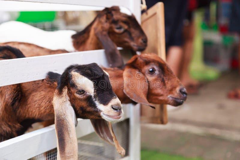 Niños juveniles de la cabra detrás de las cercas blancas Las cabras nacionales, uno de los animales domesticados más viejos, se h fotos de archivo
