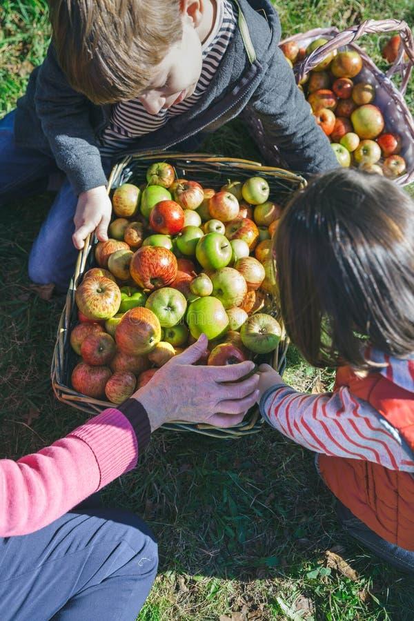 Niños y mujer mayor que ponen manzanas dentro de cestas imágenes de archivo libres de regalías