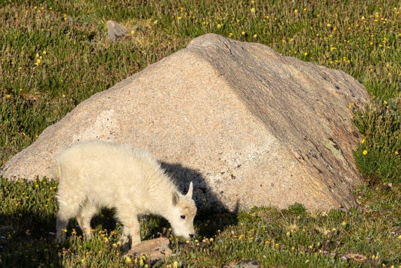 Ni?o de la cabra de monta?a en verano imagen de archivo libre de regalías