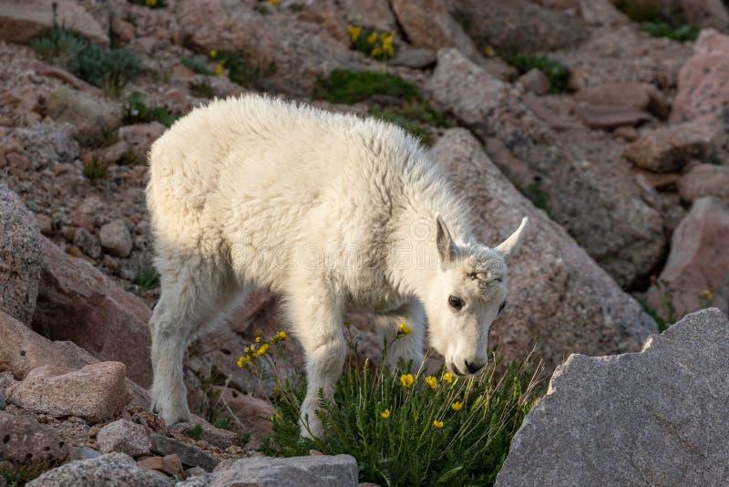 Ni?o lindo de la cabra de monta?a imágenes de archivo libres de regalías