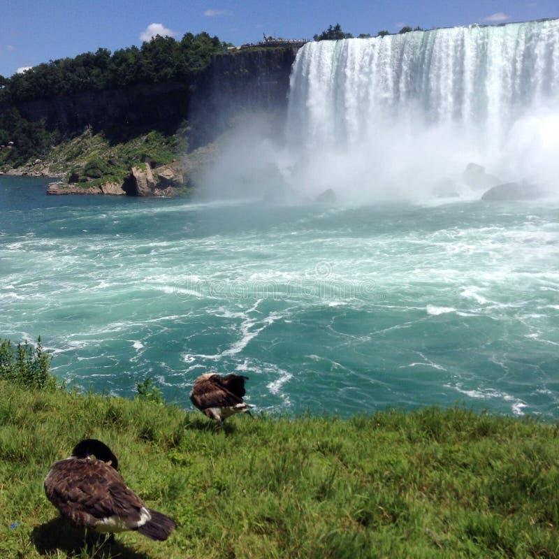 Niagara Falls Geese stock image