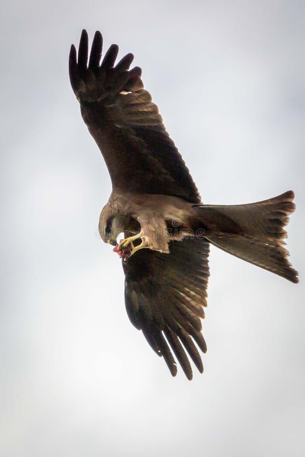 Nibbio selvaggio in volo, Werribee, Victoria, Australia, agosto 2019 immagine stock