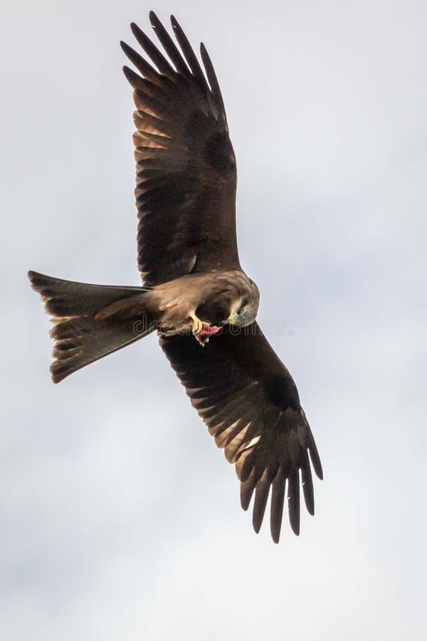 Nibbio selvaggio in volo, Werribee, Victoria, Australia, agosto 2019 immagini stock