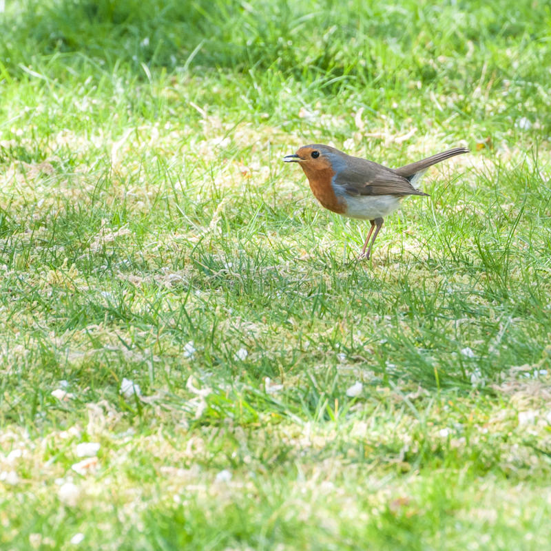 Nibbler. A robin red breast collects pieces of rice from a lawn royalty free stock images