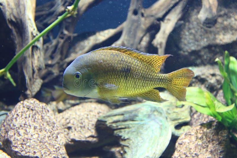 Nicaragua cichlid royalty-vrije stock foto's