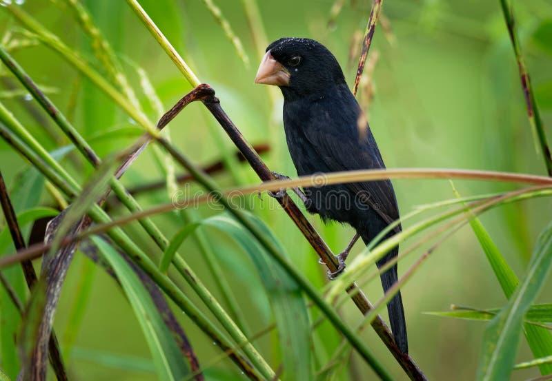 Nicaraguan zaad-Vink - nuttingi van Sporophila Oryzoborus - vogel in de familie Thraupidae royalty-vrije stock fotografie