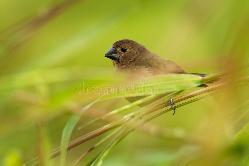 Nicaraguan zaad-Vink - nuttingi van Sporophila Oryzoborus - vrouwelijke vogel in de familie Thraupidae royalty-vrije stock foto's