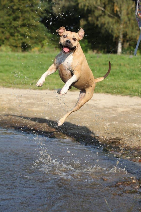 Het Amerikaanse Staffordshire Terrier Springen van Nice royalty-vrije stock afbeeldingen