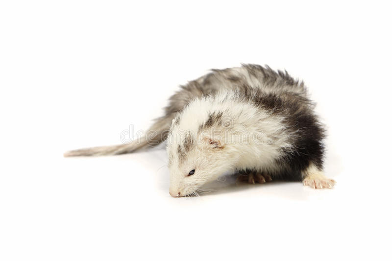 Nice angora ferret on white background posing for portrait in studio. Ferret on white background posing for portrait in studio royalty free stock photography