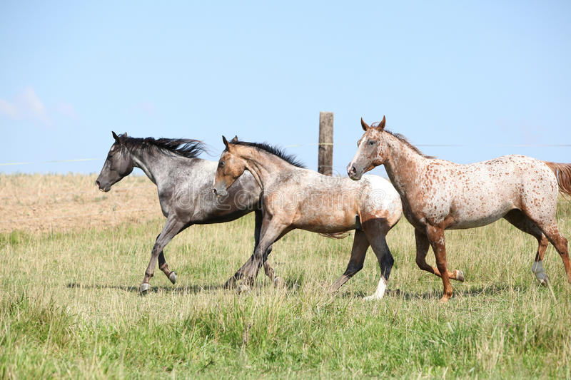 Nice appaloosa horses running on pasturage. In summer stock image